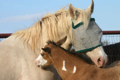 Mare and Foal. Perlino quarter horse mare wearing fly mask with her buckskin paint colt, grooming each other Stock Image