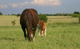 Mare and Foal. Grazing in summer pasture, thunderstorm approaching in background Stock Photography