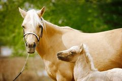 Mare and foal. Welsh purebred mare and her newborn foal Royalty Free Stock Photography