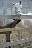 Mare with foal. White mare with brown foal in roundup Stock Photo