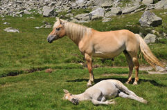 Mare and foal in alpine environment Stock Image