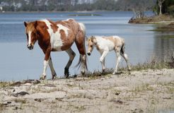Mare & Foal by the bay. Mare and foal by the bay on Assateague Island stock image