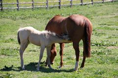 Mare and Foal. Beautiful young foal nursing from its mother Royalty Free Stock Photos