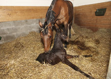 Mare and foal after birth. A brown mare shortly after birth with her foal in a horse box royalty free stock photos
