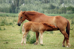 Mare and foal breastfeeding Royalty Free Stock Photography