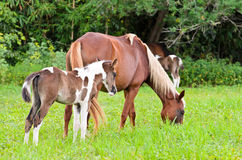 Mare and foal with brown white Royalty Free Stock Photography