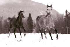 Mare and Foal canter in snow. Grey Mare and chestnut Foal running in snow, vintage sepia style stock image