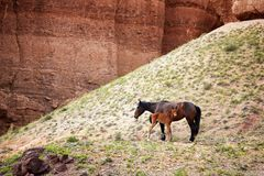 Mare and foal in canyon Royalty Free Stock Image
