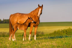 Mare with foal. Mare with colt in beautiful field stock photography