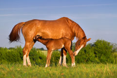 Mare with foal. Colt drink milk from mare in pasture royalty free stock image