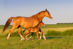 Mare with foal Royalty Free Stock Images