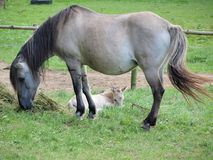 Mare with foal. Czech Republic royalty free stock images