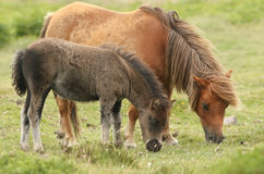 A mare and foal Dartmoor ponies Equus ferus caballus. A mare and foal Dartmoor ponies Equus ferus caballus feeding on grass in the moors Royalty Free Stock Image