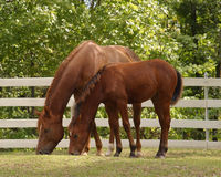 Mare and Foal eating. Mare and foal Royalty Free Stock Image