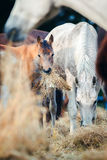 Mare and foal eating hay Royalty Free Stock Image