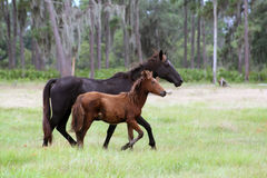 Mare and foal in field. Mare and foal mustangs running in field stock photo