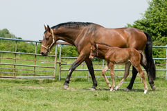 Mare and foal in the field Royalty Free Stock Photography