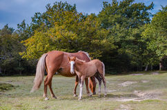 Mare and foal on the field Royalty Free Stock Photography