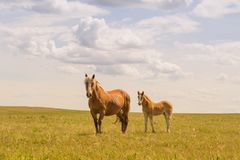 Mare and Foal in a Field royalty free stock photos