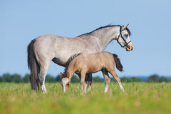 Mare with foal in field. Horses eating grass outside. Royalty Free Stock Photography