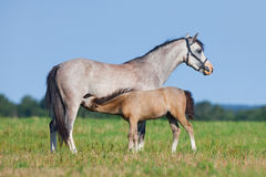 Mare and foal in field. Horses eating grass outside. Stock Photos