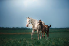 Mare with foal Stock Photos