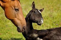 Mare and foal funny moment of communicate closeup. The mare and foal funny moment of communicate closeup stock photo