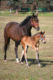 Mare and foal galloping together in pastureland Royalty Free Stock Image