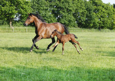 Mare with foal gallops Stock Photo