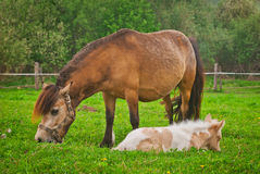Mare with a foal Stock Images