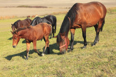 Mare and foal grazing Stock Photos