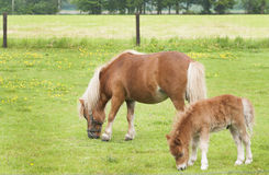 Mare with foal grazing Royalty Free Stock Image