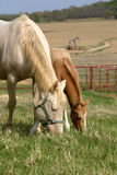 Mare and Foal Grazing. Cream colored perlino quarter horse mare wearing green halter grazing in grass with palomino foal beside her, red pipe fence, oil well Royalty Free Stock Image