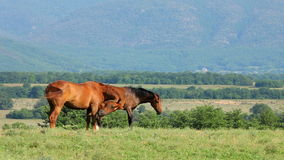 Mare And Foal Grazing In-Bergen stock footage