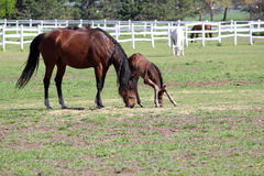Mare and foal grazing Royalty Free Stock Image