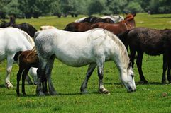 Mare and foal grazing on meadow. Freedom Stock Image
