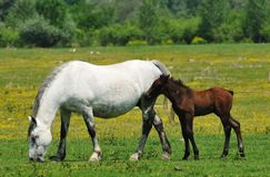 Mare and foal grazing on meadow. Freedom Stock Photography