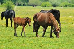 Mare and foal grazing on meadow. Freedom Royalty Free Stock Images