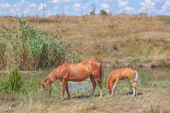 Mare and foal grazing Stock Photography