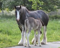 Mare and foal. A gypsy vanner mare feeds her foal stock photo