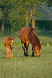 Mare with foal. Mare with her foal grazing Royalty Free Stock Photo