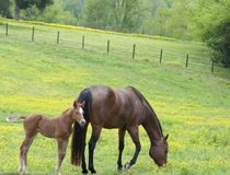 Mare and Foal. A mare and her foal in a green field of yellow wild flowers Stock Photo