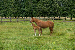 Mare and Foal. Mare and her 1 week foal resting on a green field Royalty Free Stock Photos