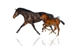 Mare and foal isolated royalty free stock photo