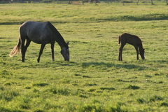 Mare and foal in meadow Stock Photography