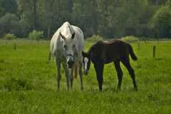 Mare and foal in a meadow Royalty Free Stock Photography