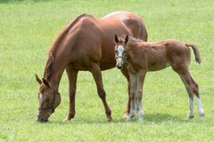 Mare with foal in a meadow royalty free stock photo