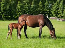 Mare with foal on meadow Stock Image