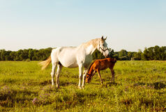 Mare and foal in a meadow. White mare and bay foal in a meadow at sunset Stock Photos