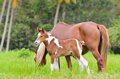 Mare and foal in a meadow Royalty Free Stock Images